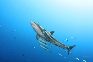 shark-6489-sig-web.jpg